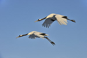 Red-crowned Crane (Grus japonensis) pair flying, Tsurui Ito Sanctuary, Hokkaido, Japan - Thomas Marent