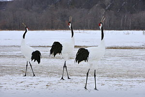 Red-crowned Crane (Grus japonensis) group displaying during courtship, Tsurui Ito Sanctuary, Hokkaido, Japan - Thomas Marent