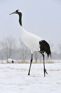 Red-crowned Crane (Grus japonensis), Tsurui Ito Sanctuary, Hokkaido, Japan - Thomas Marent