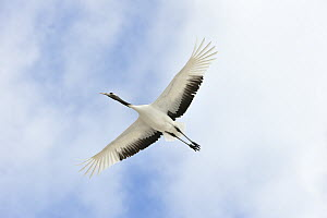 Red-crowned Crane (Grus japonensis) flying, Tsurui Ito Sanctuary, Hokkaido, Japan - Thomas Marent