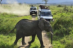 African Elephant (Loxodonta africana) crossing dirt road near tourists, Serengeti National Park, Tanzania - Thomas Marent
