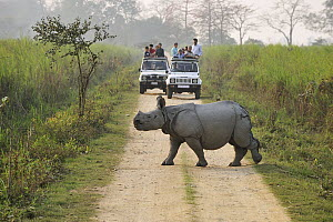 Indian Rhinoceros (Rhinoceros unicornis) crossing road near tourists, Kaziranga National Park, Assam, India - Thomas Marent