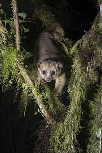 Kinkajou (Potos flavus) in tree at night, Andes, Ecuador - Tui De Roy