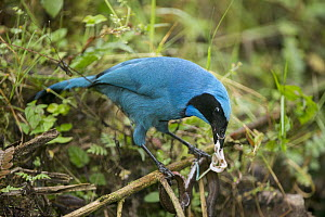 Turquoise Jay (Cyanolyca turcosa) feeding on organs of snake, Bellavista Cloud Forest Reserve, Tandayapa Valley, Andes, Ecuador  -  Tui De Roy