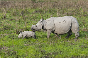 Indian Rhinoceros (Rhinoceros unicornis) mother and one week old calf, Kaziranga National Park, India, digitally removed grass from foreground  -  Suzi Eszterhas