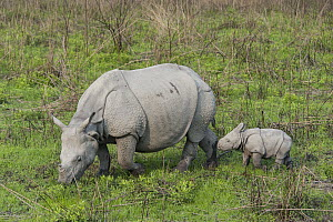 Indian Rhinoceros (Rhinoceros unicornis) mother grazing with one week old calf, Kaziranga National Park, India, digitally removed grass from foreground  -  Suzi Eszterhas