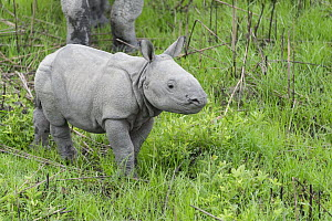 Indian Rhinoceros (Rhinoceros unicornis) one week old calf, Kaziranga National Park, India - Suzi Eszterhas