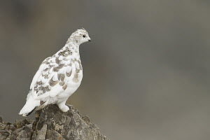 Rock Ptarmigan (Lagopus muta), Grisons, Switzerland - Fabian Fopp