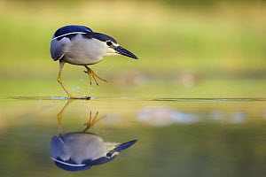 Black-crowned Night Heron (Nycticorax nycticorax) foraging, Hungary - Georg Scharf