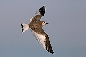 Sabine's Gull (Xema sabini) flying, Zurich, Switzerland - Jonas Landolt