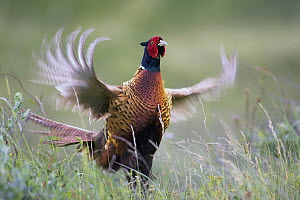 Ring-necked Pheasant (Phasianus colchicus) male in terriorial display, Texel, Netherlands  -  Thomas Hinsche