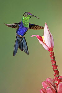 Violet-crowned Woodnymph (Thalurania colombica) hummingbird male feeding on flower nectar, Costa Rica  -  Graeme Guy