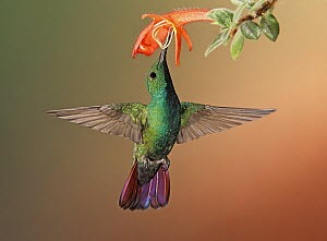 Green-breasted Mango (Anthracothorax prevostii) hummingbird feeding on flower nectar, Costa Rica  -  Graeme Guy