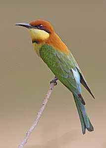 Chestnut-headed Bee-eater (Merops leschenaulti) male, Penang, Malaysia  -  Graeme Guy