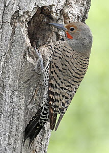 Northern Flicker (Colaptes auratus) male at nest cavity, British Columbia, Canada  -  Graeme Guy