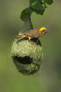 Baya Weaver (Ploceus philippinus) male weaving nest, Singapore  -  Graeme Guy