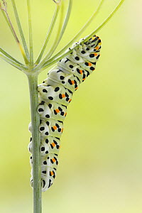 Oldworld Swallowtail (Papilio machaon) caterpillar on fennel, Netherlands  -  Silvia Reiche