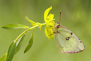 Pale Clouded Yellow (Colias hyale) butterfly, Dordogne, France  -  Silvia Reiche