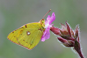 Clouded Yellow (Colias croceus) butterfly, Netherlands  -  Silvia Reiche