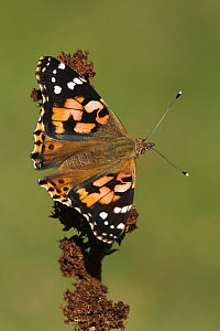 Painted Lady (Vanessa cardui) butterfly, Netherlands  -  Silvia Reiche