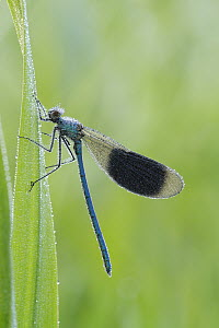 Banded Demoiselle (Calopteryx splendens) covered with dew, Netherlands  -  Silvia Reiche