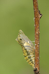 Oldworld Swallowtail (Papilio machaon) chrysalis, Netherlands, sequence 1 of 8  -  Silvia Reiche