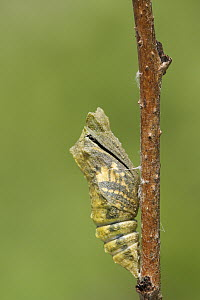Oldworld Swallowtail (Papilio machaon) butterfly emerging from chrysalis, Netherlands, sequence 2 of 8  -  Silvia Reiche