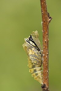 Oldworld Swallowtail (Papilio machaon) butterfly emerging from chrysalis, Netherlands, sequence 3 of 8  -  Silvia Reiche