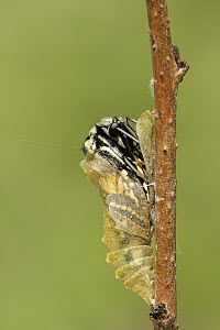 Oldworld Swallowtail (Papilio machaon) butterfly emerging from chrysalis, Netherlands, sequence 4 of 8  -  Silvia Reiche