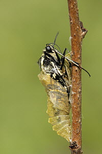 Oldworld Swallowtail (Papilio machaon) butterfly emerging from chrysalis, Netherlands, sequence 5 of 8  -  Silvia Reiche