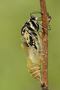 Oldworld Swallowtail (Papilio machaon) butterfly emerging from chrysalis, Netherlands, sequence 6 of 8  -  Silvia Reiche