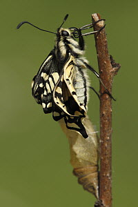 Oldworld Swallowtail (Papilio machaon) butterfly emerging from chrysalis, Netherlands, sequence 7 of 8  -  Silvia Reiche