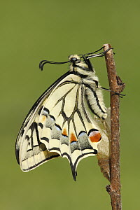 Oldworld Swallowtail (Papilio machaon) butterfly, Netherlands, sequence 8 of 8  -  Silvia Reiche