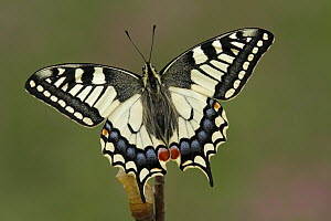 Oldworld Swallowtail (Papilio machaon) butterfly, Netherlands  -  Silvia Reiche