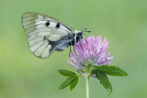 Clouded Apollo (Parnassius mnemosyne) butterfly, Bukk Mountains, Hungary  -  Silvia Reiche