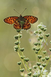 Twin-spot Fritillary (Brenthis hecate) butterfly, Bukk Mountains, Hungary  -  Silvia Reiche