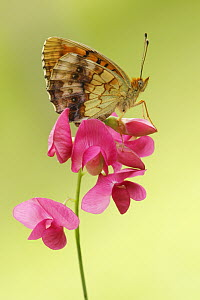 Marbled Fritillary (Brenthis daphne) butterfly, Bukk Mountains, Hungary  -  Silvia Reiche