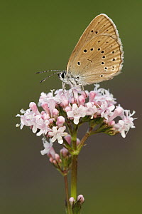 Scarce Large Blue (Maculinea teleius) butterfly, Netherlands  -  Silvia Reiche