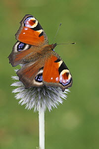 Peacock Butterfly (Inachis io), Netherlands  -  Silvia Reiche