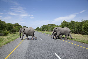African Elephant (Loxodonta africana) group crossing road, Chobe National Park, Botswana - Richard Du Toit