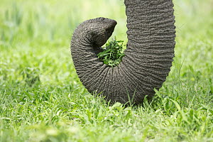 African Elephant (Loxodonta africana) using trunk to pull up plants, Chobe National Park, Botswana - Richard Du Toit