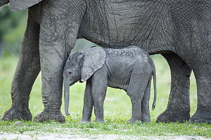 African Elephant (Loxodonta africana) mother and calf, Chobe National Park, Botswana - Richard Du Toit