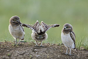 Burrowing Owl (Athene cunicularia) owlets at burrow with one stretching, Montana  -  Donald M. Jones