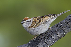 Chipping Sparrow (Spizella passerina), North America  -  Donald M. Jones