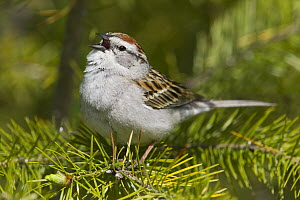 Chipping Sparrow (Spizella passerina) calling, North America  -  Donald M. Jones
