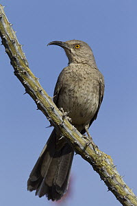 Curve-billed Thrasher (Toxostoma curvirostre), Arizona  -  Donald M. Jones