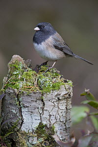 Dark-eyed Junco (Junco hyemalis), North America  -  Donald M. Jones