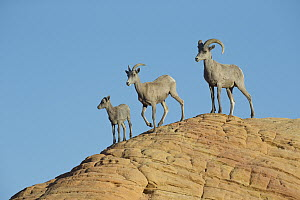 Desert Bighorn Sheep (Ovis canadensis nelsoni) family, North America - Donald M. Jones