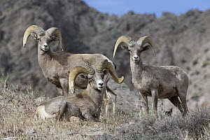 Desert Bighorn Sheep (Ovis canadensis nelsoni) rams, North America - Donald M. Jones