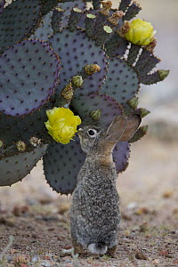 Desert Cottontail (Sylvilagus audubonii) feeding on cactus flower, North America - Donald M. Jones